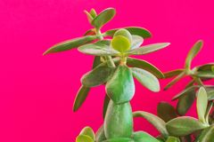 Potted jade plant money tree on painted fuchsia pink wall background. Fresh green vibrant leaves. Room plants interior decoration. Urban jungle gardening stock image