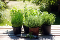 Potted kitchen herbs such as rosemary, thyme, parsley, sage, ore. Gano and chives on a wooden table in the sunny garden, for fresh and healthy cooking Stock Photo