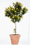 Potted lantana against white background Royalty Free Stock Photography