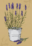 Potted lavender Royalty Free Stock Image