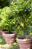 Potted lemon trees Royalty Free Stock Photos