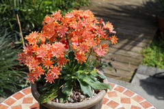 Potted lewisia with profuse orange flowers. Potted lewisia in UK garden with profuse orange flowers stock image