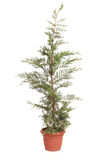 Potted Leyland Cypress evergreen tree Stock Image