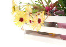 Potted livingstone daisy in a white wooden container Royalty Free Stock Images
