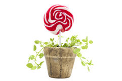 Potted lollipop Royalty Free Stock Photo