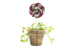 Potted lollipop. Isolated on white background Stock Images