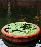 Potted Lotus. An ornamental pot of lotus blossoms within a koi pond stock photography