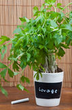 Potted lovage herb with label. On wooden background Royalty Free Stock Photo
