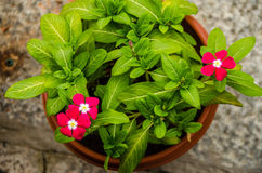 Potted Madagascar periwinkle flower plant Royalty Free Stock Images