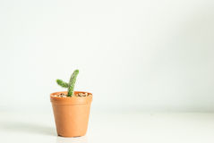 Potted mini cactus Royalty Free Stock Image