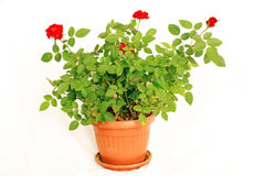 Potted Mini Rose Stock Photos