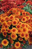 Potted Mums 1 Stock Photo