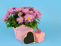 Potted mums, Chrysanthemum morifolium, wrapped in pink paper on a blue background. royalty free stock photo