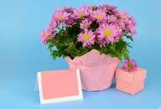 Potted mums, Chrysanthemum morifolium, wrapped in pink paper on a blue background royalty free stock photos