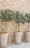 Potted olives in a row. Blooming olive trees in terracotta pots arranged in a row along a cobblestone wall. Vertically oriented image Stock Photos