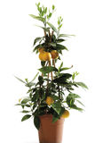 Potted orange tree (Citrus sinensis), close-up Royalty Free Stock Photos