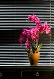 Potted Orchid On Table Stock Photos