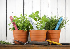 Potted oregano, basil and thyme Stock Image