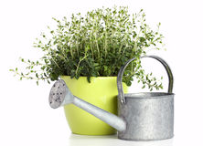 Potted oregano plant Stock Photo
