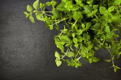 Potted oregano plant on slate with copyspace Royalty Free Stock Image