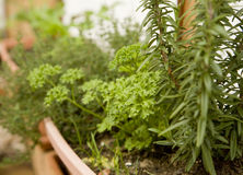 Potted organic herb garden. With rosemary, parsley, thyme and other herbs Royalty Free Stock Images