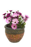 Potted osteospermum Stock Photo