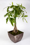 Potted Pachira aquatica Stock Photo