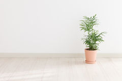 Potted Palm Royalty Free Stock Photography