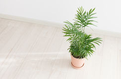 Potted Palm. In the room Royalty Free Stock Images