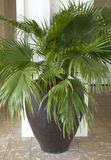 Potted palm tree Stock Images