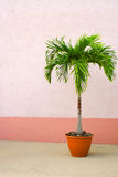 Potted Palm Tree Stock Photo