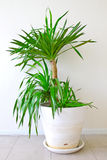 A potted palm tree Stock Photography