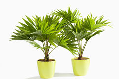 Potted Palm tree against white background Royalty Free Stock Photography