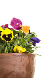 Potted pansies Royalty Free Stock Photo