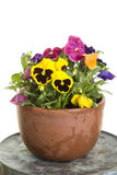 Potted pansies. Field grown pansy flowers in a clay pot. The pansy is a group of large-flowered hybrid plants cultivated as garden flowers. Pansies are derived Royalty Free Stock Image
