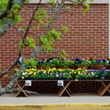 Potted Pansies for Sale in spring in Maine Stock Images