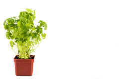 Potted Parsley plant with isolated background, flushed left Stock Image