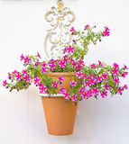 Potted Petunias Stock Photography