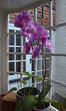 Potted Phalaenopsis Orchid. Potted one stem Phalaenopsis Orchid with large purple flowers on a bay window sill with a view of an external wall Royalty Free Stock Photos