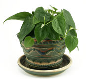 Potted Philodendron Houseplant on White Royalty Free Stock Image