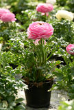 Potted pink buttercup Stock Photo