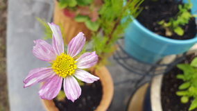 Potted Pink Cosmos Royalty Free Stock Image