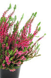 Potted pink erica plant on white isolated background Stock Images