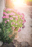 Potted pink flowers Stock Photos