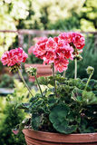 Potted pink Pelargonium flowers (Pelargonium hortorum) in the ga Stock Photography
