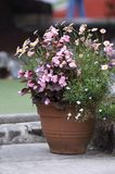 Potted plant. In a British country cottage garden Stock Photo