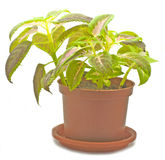 Potted plant. On white background Royalty Free Stock Photos