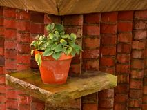 Potted Plant. On shelf against brick wall - decorative setting royalty free stock photo