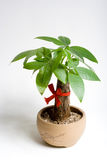 Potted plant. A potted plant which named fatten treeon the white background Stock Images
