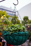 Potted plant in a basket. Suspended using a chain from a hook. Used to provide an indoor decoration Stock Images